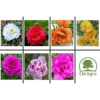 Tanaman Bibit Bunga Hias Krokot, krokot mawar, Moss Rose multi warna