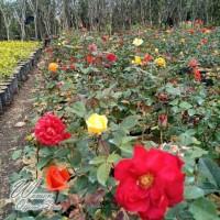 Tanaman Bunga mawar hidup bisa pilih warna mawar asli bibit bunga