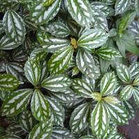 tanaman hias daun mutiara