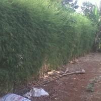 Terlaris Tanaman Pohon Bambu Cina China,Telisik hijau,