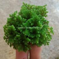 Azolla Microphylla Azzola Eceran Murah Bibit Indukan Kualitas Terbaik
