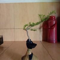 Bahan Bonsai Anting Putri Micro