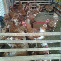 Ayam Merah Hidup / ayam petelur segar