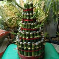 tanaman hias bambu hoki lucky bambk china imlek susun 5 murah