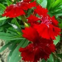 Tanaman Hias Bunga Dianthus / Anyelir Mini