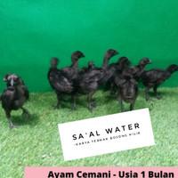 Ayam Hias | Ayam Cemani Lidah Abu | usia 1 Bulan