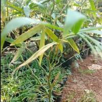 POHON BAMBU NAGIN BAMBU CHINA / Tanaman bambu nagin bambu china