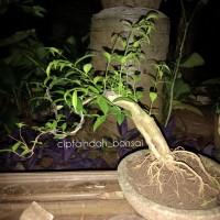Bonsai anting putri mikro | batang bahan bonsai mini | tanaman bonsai