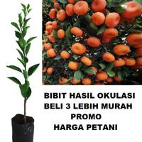 Bibit Tanaman Pohon Jeruk Santang Madu Hasil Okulasi Jaminan Asli