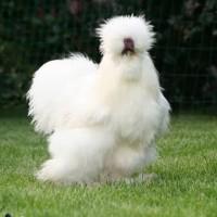 American Silky/ Ayam American Silky Bulu Kapas