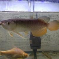 Ikan Arowana Arwana Golden Red 18 - 20 cm