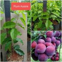 Bibit Buah Plum Aussie/Plum Australia