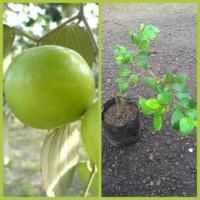 Bibit Apel India / Putsa - Tanaman Buah Hidup-