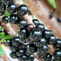 Bibit tanaman Buah Anggur Pohon / anggur brazil (Tinggi 1 Meter up)