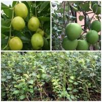 Bibit Buah Putsa - Apel India