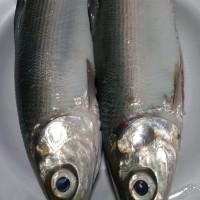 Ikan Bandeng Losari Bersih Asli Segar ½kg isi 1-2 ekor ,