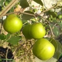 Bibit tanaman apel putsa berbuah - pohon apel putsa/apel india