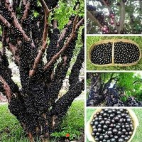 Bibit Tanaman Anggur Brazil / Pohon Buah anggur Pohon / Jaboticaba
