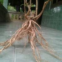 terbaru Terbaik pohon akar senggani aquascape jadi segar⠀⠀⠀