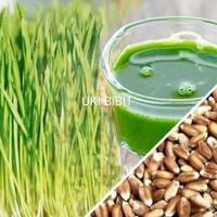 ( 500 Gram ) Benih Rumput Gandum / Wheatgrass Microgreens