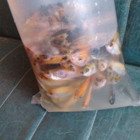 bibit ikan nila merah campur ukuran 3-4 cm 1/2 liter