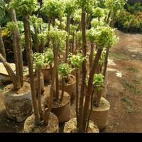 tanaman hias bonsai anting Putri tinggi 1, 2 m - anting Putri
