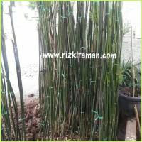 Tanaman Pohon Bambu Cina China,Telisik hijau, kelisik