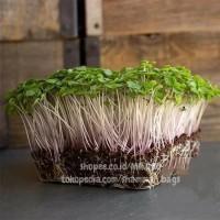 Microgreens Kale Red Russian - 5Gram - Repack Benih USA