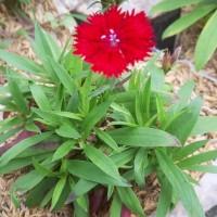 Tanaman Anyelir Dianthus Merah