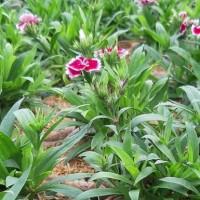 Tanaman Anyelir Dianthus Ungu