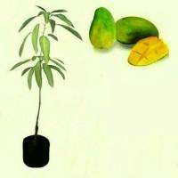 Paket 3 bibit tanaman hidup buah mangga gadung harum manis