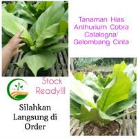 Tanaman Hias Anthurium Cobra Catalogna/Anthurium Gelombang Cinta