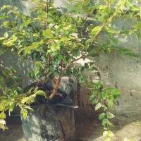 bibit anggur pohon brazil siap berbuah