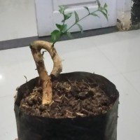 tanaman hias bibit bonsai anting putri