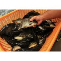 Ikan Mas Segar Ikan Emas Fresh 1kg & 500gr
