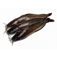 Ikan Lele Segar Hidup 1kg & 500gr Cat Fish Fresh