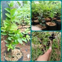Bibit Anggur Brazil Sabara/Jaboticaba Sabara kecil Tinggi 15 – 20 cm