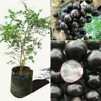 bibit tanaman anggur brazil - pohon anggur brazil sabara