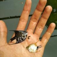 ikan hias manfish angelfish murmer