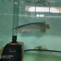 ikan arwarna arowarna super red