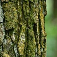 kulit pohon pinus media tanaman hias recah
