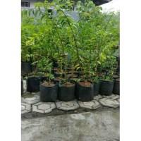 Bahan bonsai anting putri tinggi 50-60 cm