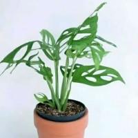 tanaman hias hidup bunga monstera obilqua - janda bolong