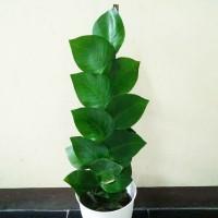 tanaman bunga hias hidup pohon dolar rambat daun besar climbing