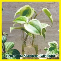 Peperomia Scandens Variegata tanaman hias per1 batang sudah berakar