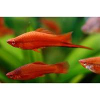 aquarium fish red sword tail platy ikan hias akuarium male female