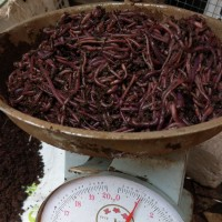 ANC 250 gr Kascing pupuk pakan ikan burung Cacing tanah merah hidup