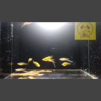 Ikan Guppy Blonde Vienna Bottom Sword | Per 5 Pasang | NF Guppy