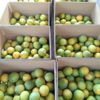 supplier jeruk   jeruk baby java malang  jeruk peras manis  jeruk baby - Manis