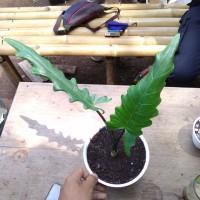 alocasia lauterbachiana keris papua tanaman hias